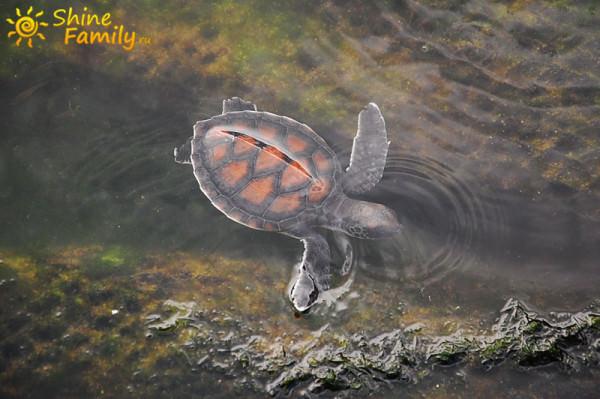 Еще одна водоплавающая черепаха