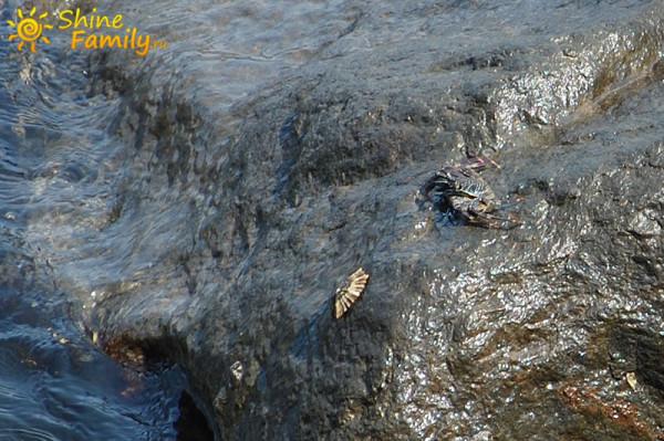 краб охотится на молюска-камнеедку