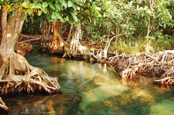 Мангровые леса в Тайланде